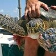 Scientists studying sea turtles to gauge health of Lake Worth Lagoon