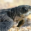2011 a banner year for 2 Florida sea turtle species